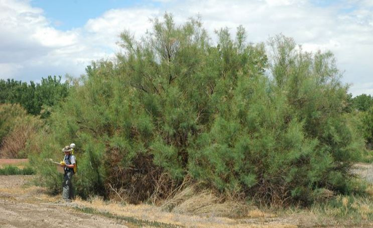 salt cedars are present along the Rio Grande and other parts of New Mexico