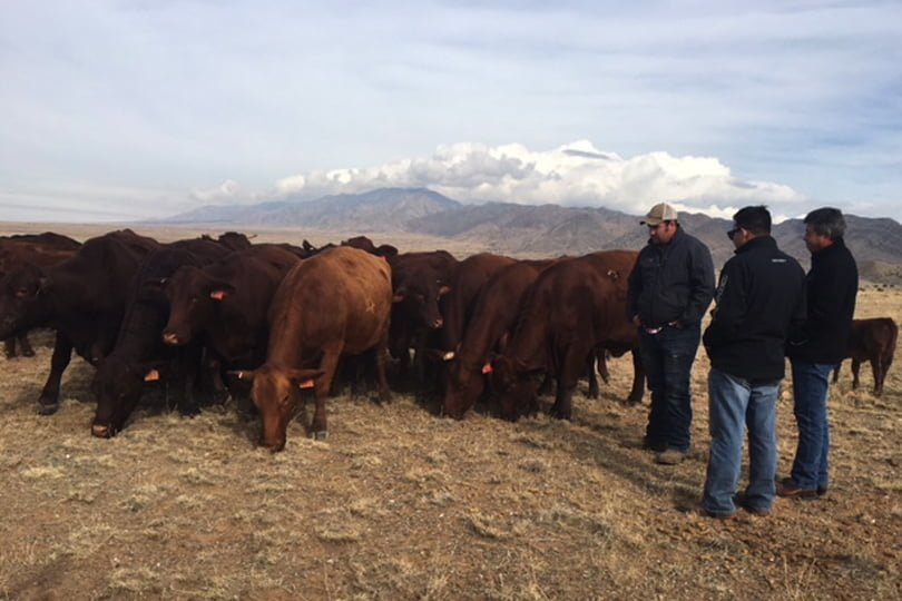 Three men stand next to a group of cows grazing.