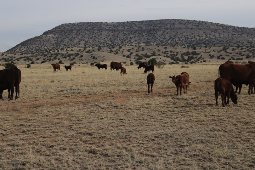 Cattle grazing on rangeland