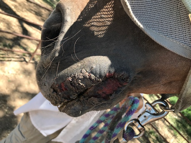 """Vesicular Disease Lesion 1"" Cutline: Symptoms of Vesicular Stomatitis Virus may include oral lesions, oral blistering and drooling. A lesion is visible on the mouth of this horse in New Mexico. (Photo courtesy New Mexico Livestock Board)"