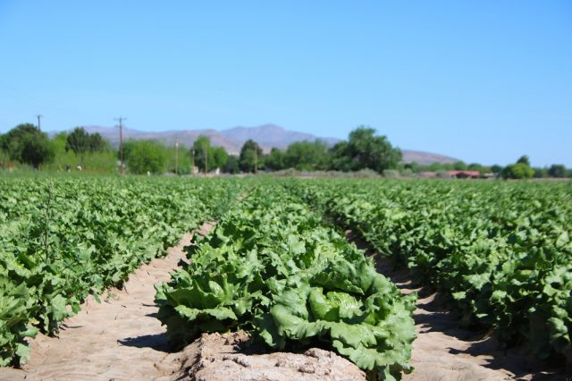 Rows of leafy green lettuce stretch in a field of produce.