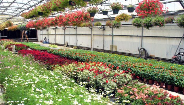 Rows of colorful flowers blossom in an indoor greenhouse.