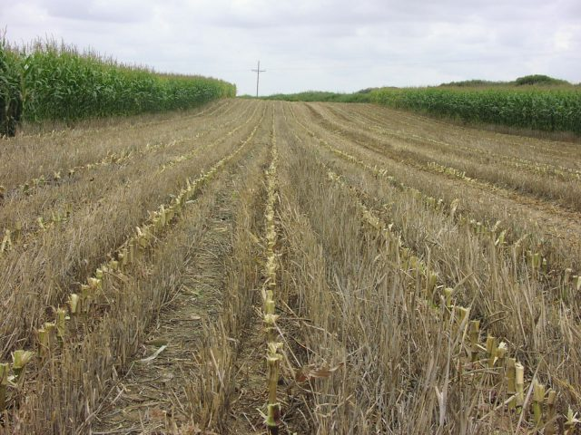 A stripped crop is between two tall, green crops, showing a strip-till conservation system that only disturbs the portion of the soil that is to contain the seed row