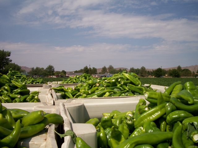 Containers of fresh green chile with chile farm in background