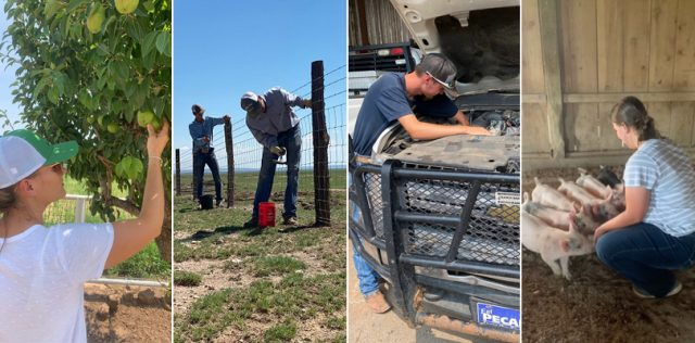 Young woman touching pear on pear tree, two young men working on a fence on ranch, young man repairing a vehicle with vehicle's hood lifted, young girl squatting down and feeding piglets food from her hands