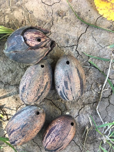 pecans with a little hole left from a pecan weevil.